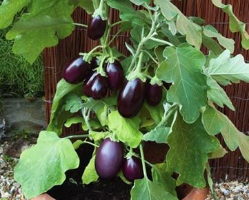 L'aubergine, un légume dusoleil