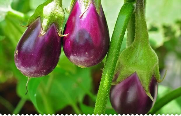 cultivez-aubergine-620-11