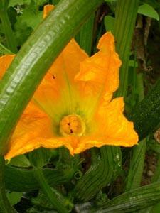 courge-fleur-femelle-pistil