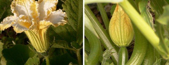 pollinisation-courge-panorama-10621156